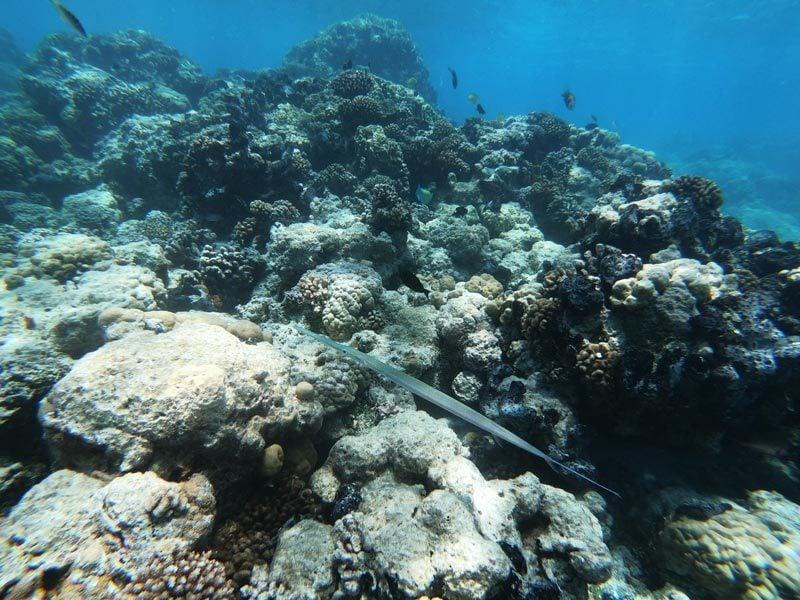 Aquarium Snorkeling tour - Rangiroa Atoll French Polynesia - trumpet fish
