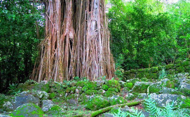 Archeological site giant banyan tree Nuku Hiva Marquesas Islands French Polynesia