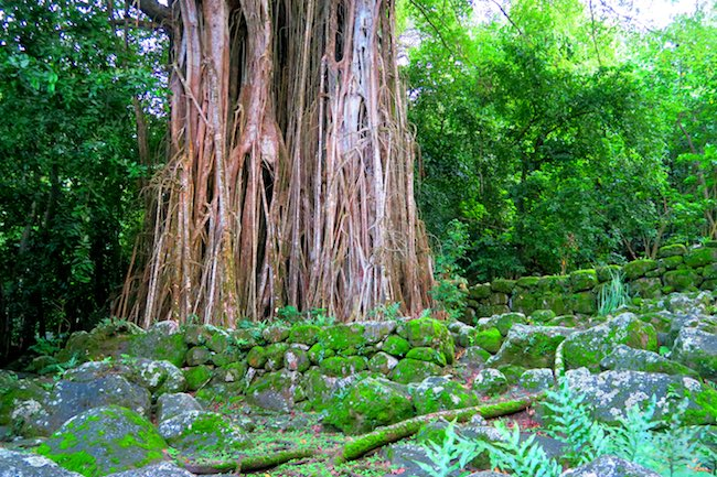 Archeological site giant banyan tree Nuku Hiva Marquesas Islands French Polynesia