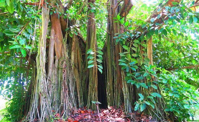 Bain de Vaima & Vaipahi Gardens Tahiti - banyan tree