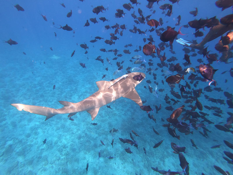 Bora Bora Lagoon tour - lemon shark