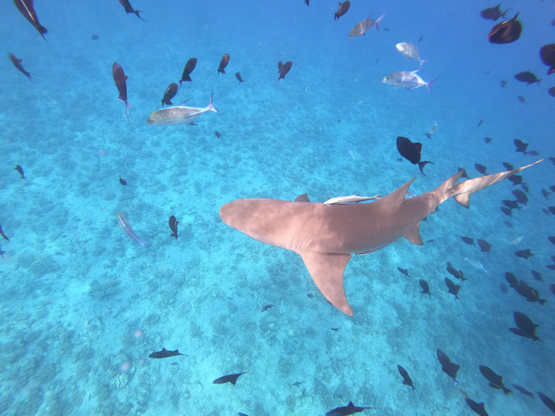 Bora Bora lagoon tour French Polynesia - lemon shark