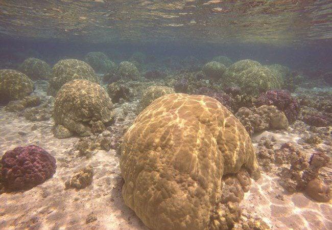 Boulder Coral in Ofu Beach American Samoa
