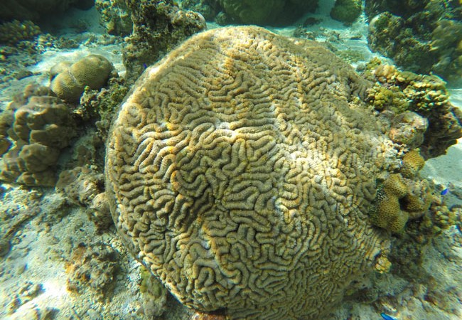 Brain coral in Ofu Beach American Samoa