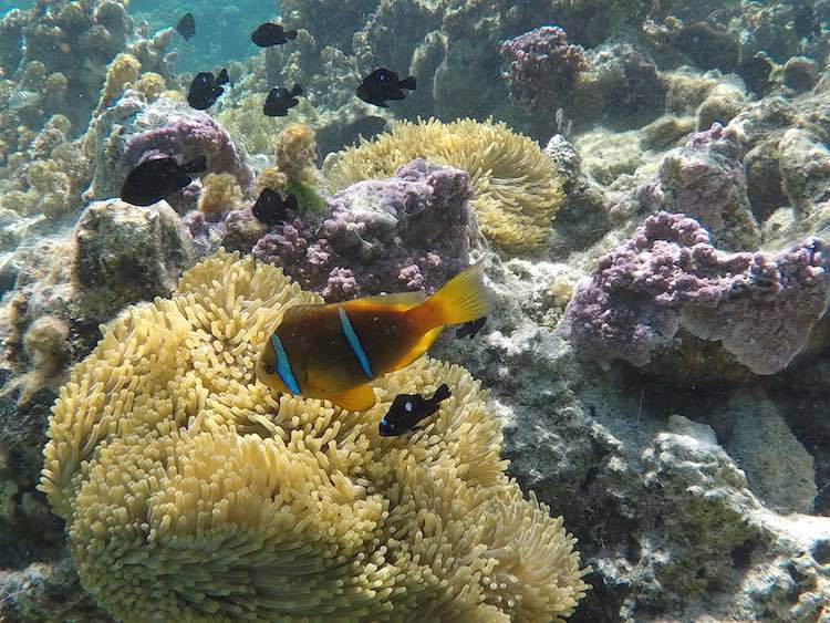 Clow in fish coral garden Tahaa French Polynesia