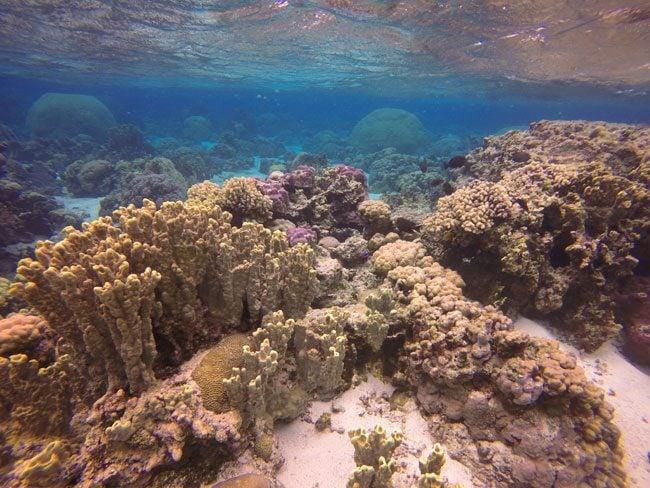 Colorful coral in Ofu Beach American Samoa