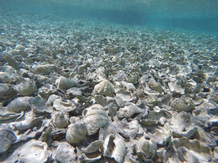 Coral Garden - Maupiti - French Polynesia - Empty shells