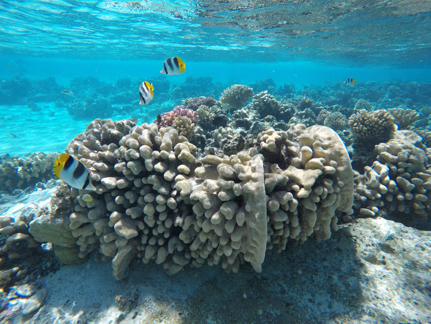 Coral Garden - Maupiti - French Polynesia - Tropical Fish Snorkeling