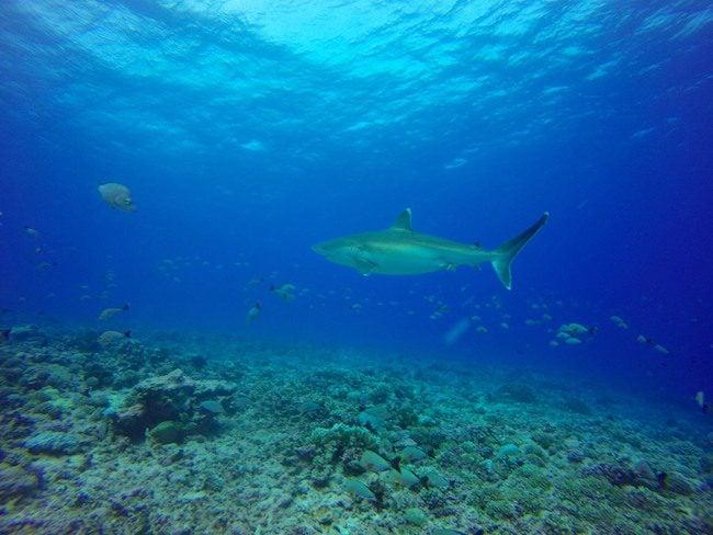 Diving Rangiroa French Polynesia Avatoru Pass silver tip shark