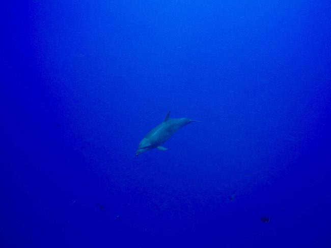 Diving Rangiroa French Polynesia Tiputa Pass dolphin up close