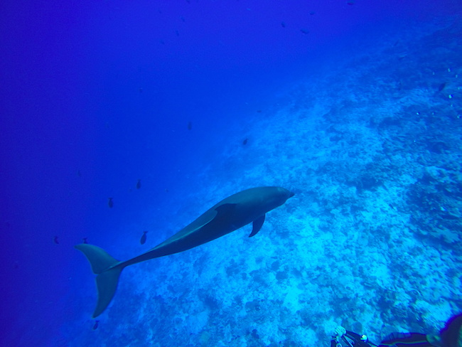 Diving Rangiroa French Polynesia Tiputa Pass dolphin