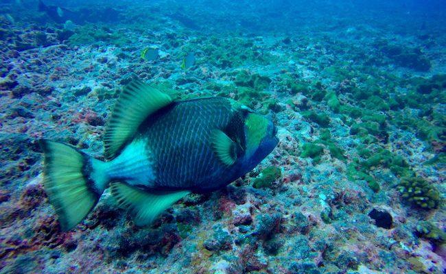 Diving Rangiroa French Polynesia Tiputa Pass napoleon fish female