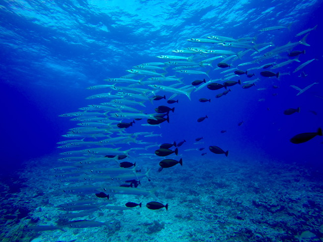 Diving Rangiroa French Polynesia Tiputa Pass school of baracuda