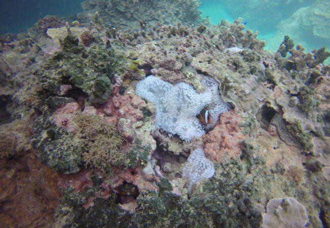 Diving Savaii Samoa clownfish