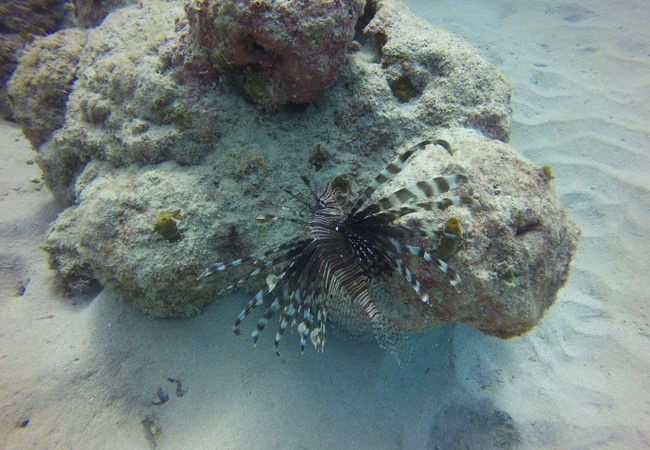 Diving Savaii Samoa lionfish