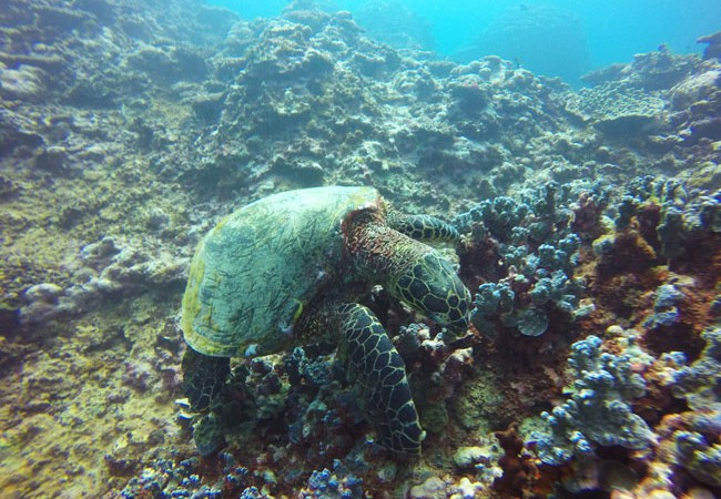 Diving Savaii Samoa sea turtle 1