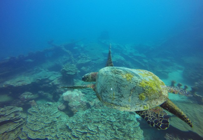 Diving Savaii Samoa sea turtle 2