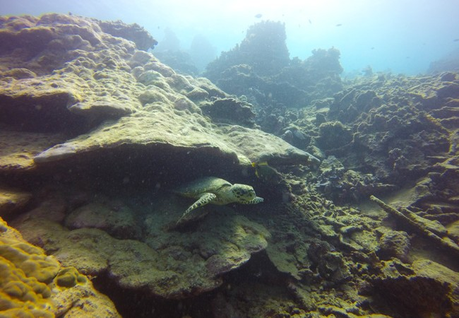 Diving Savaii Samoa sea turtle 3