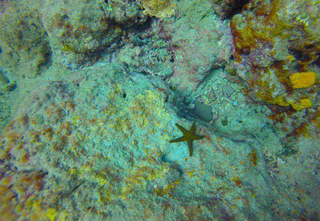 Diving Savaii Samoa starfish