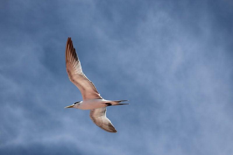 Frigate Bird - Rangiroa Atoll French Polynesia