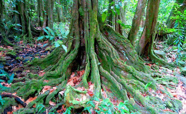 Hakaui Valley Vaipo Waterfall hike mape tree Nuku Hiva Marquesas Islands French Polynesia