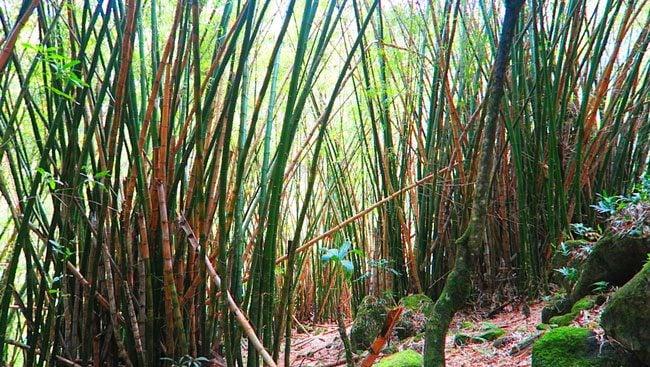 Hanakapi'ai Falls Hike - bamboo trees - Kalalau Trail - Kauai, Hawaii