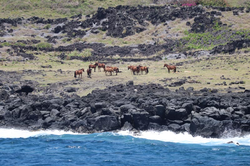 Horses in - Easter Island
