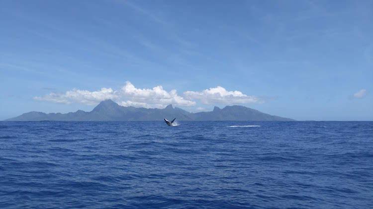 Humpback whale Tahiti French Polynesia