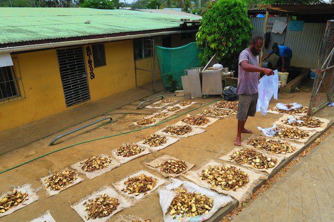 Making Kava Drink In Vanuatu - Sorting