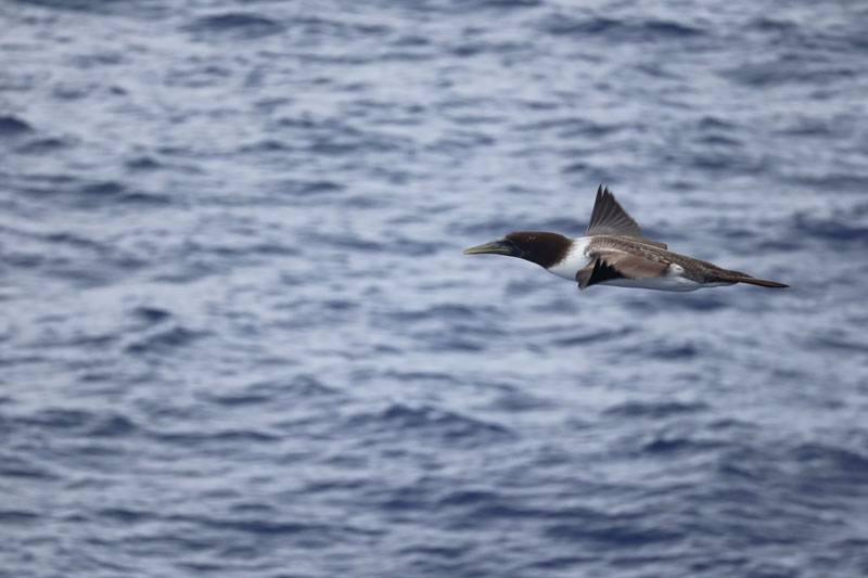 Oheno Atoll - Pitcairn Islands - Frigate bird