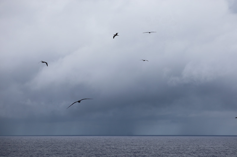 Oheno Atoll - Pitcairn Islands - flock birds hovering