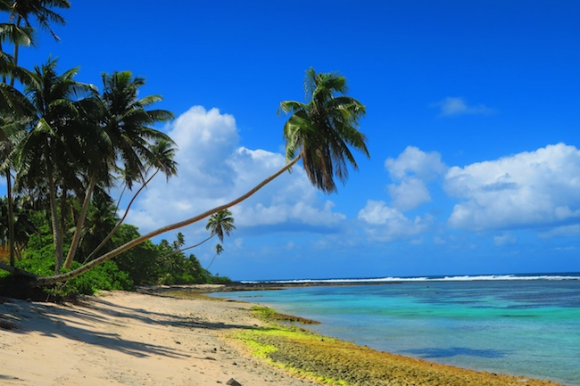 Palm tree in Salamumu Tropical Beach Samoa