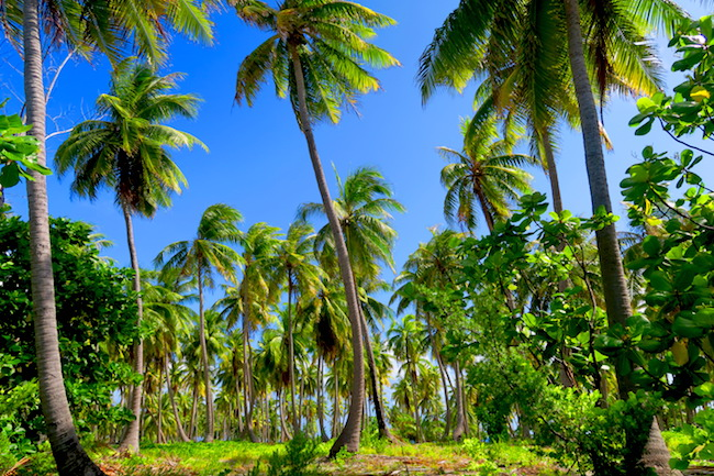 Palm trees in Rangiroa French Polynesia