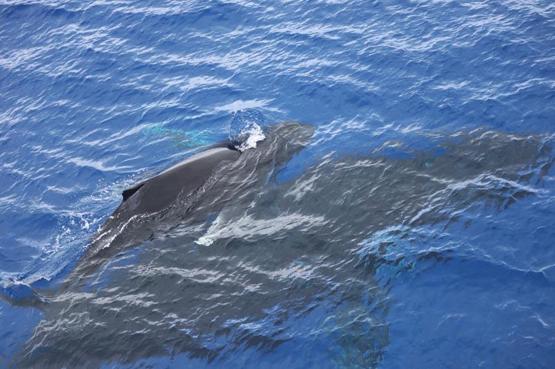 Pitcairn Island - humpback whales 4