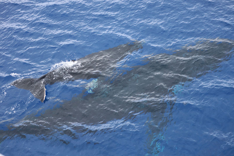 Pitcairn Island - humpback whales