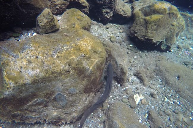 Piula-Cave-Pool-Samoa-eel