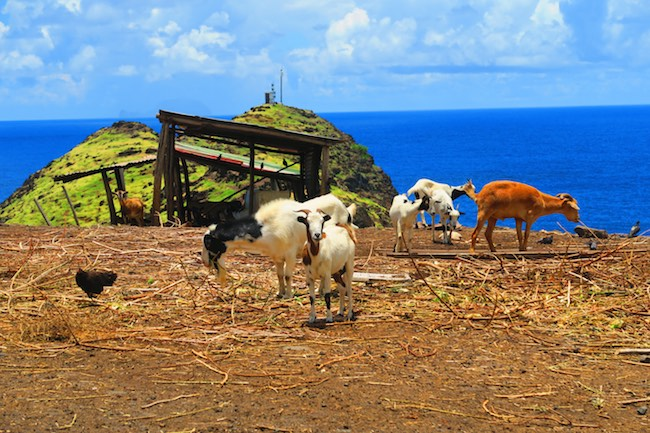 Road trip Hiva Oa Marquesas Islands French Polynesia goats