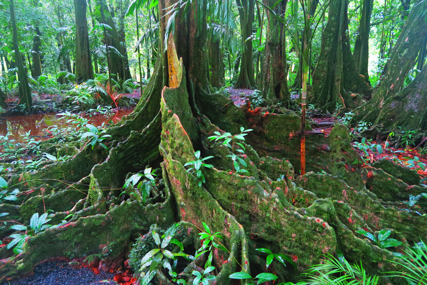 Roots-of-Mape-Tahitian-Chestnut-Tree-Botanical-Gardens-French-Polynesia