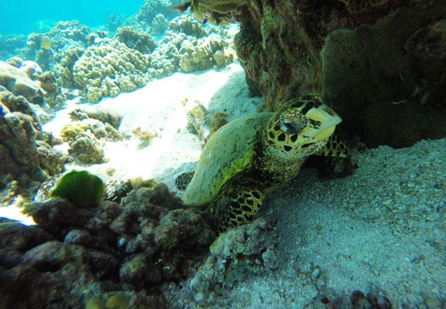Sea Turtle closeup in Ofu Beach American Samoa