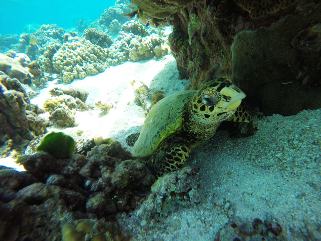 Sea Turtle closeup in Ofu Beach American Samoa