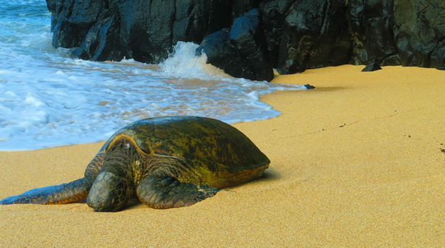 Sea turtle on Hideaways Beach - Kauai, Hawaii