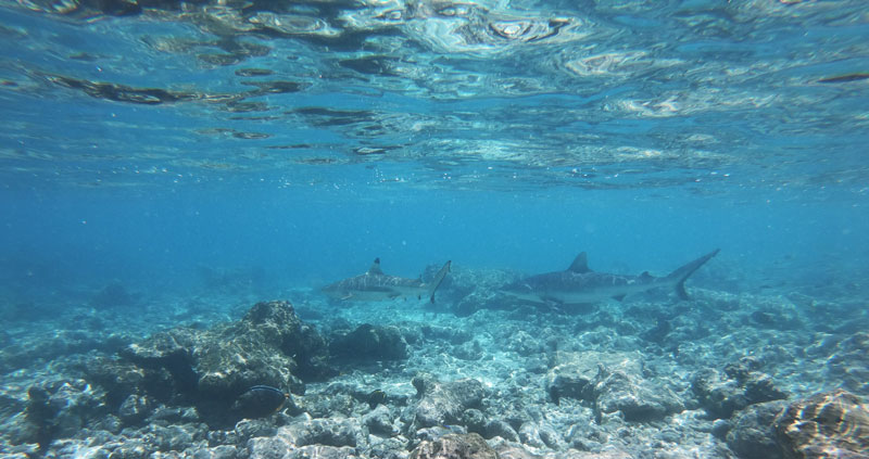 Sharks in Rangiroa Atoll French Polnyesia