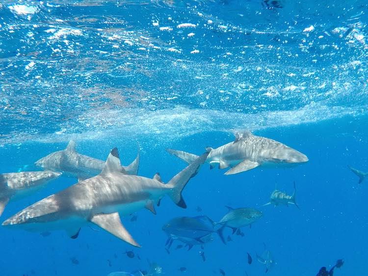 Sharks in lagoon tour Bora Bora French Polynesia