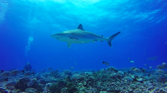 Silver-Tip-shark-closeup-avatoru-pass-rangiroa-french-polynesia-diving