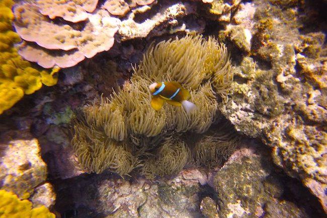 Snorkeling-Off-Tanna-Evergreen-Resort-In-Vanuatu-Clown-Fis