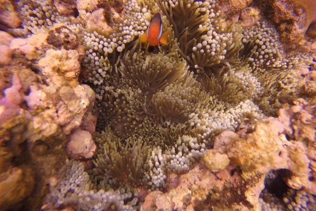 Snorkeling-Off-Tanna-Evergreen-Resort-In-Vanuatu-Clown-Fish-Closeup