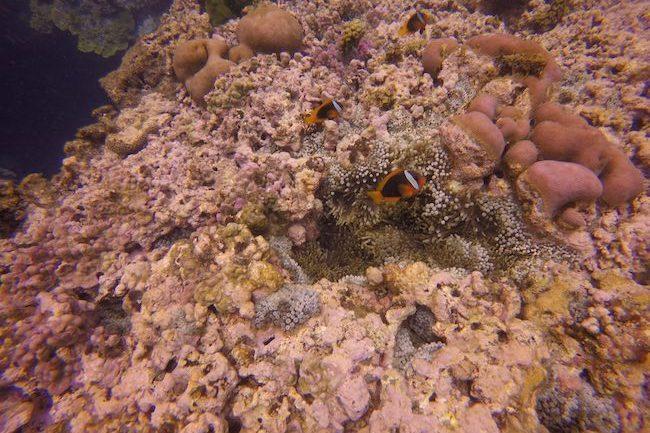 Snorkeling-Off-Tanna-Evergreen-Resort-In-Vanuatu-Three-Clownfish
