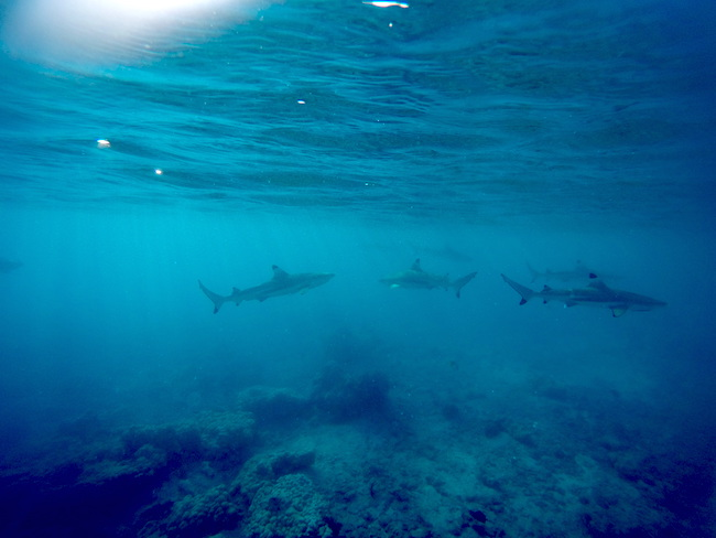 Snorkeling Rangiroa French Polynesia reef sharks