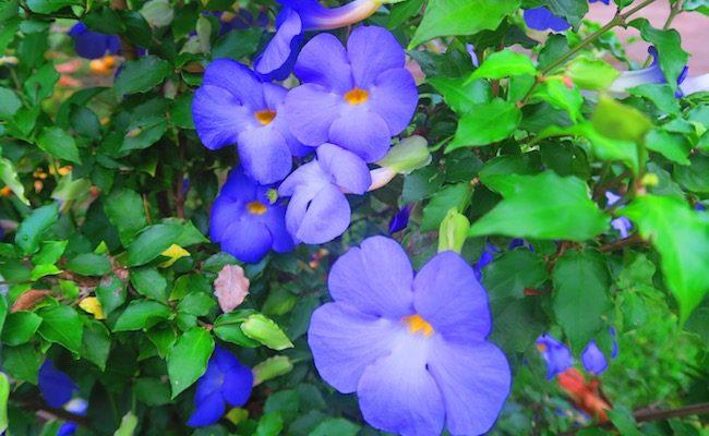 Taiohae nuku hiva marquesas islands - tropical flower