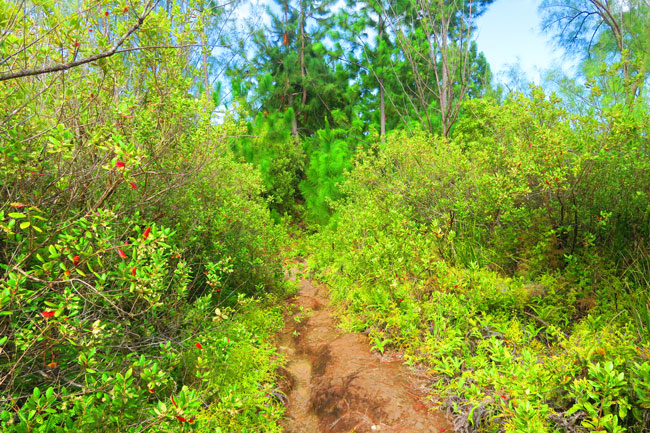 Temehani Plateau hike Raiatea Island French Polynesia hiking through pine forest